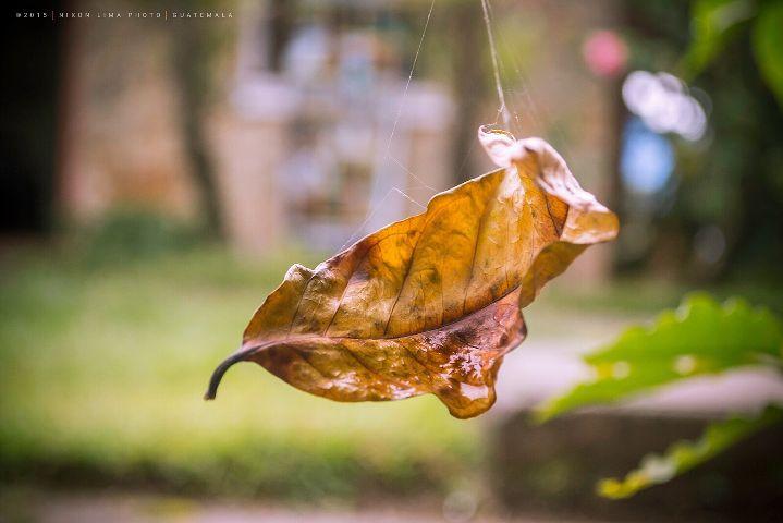 guatemala leaf nikon coban deathnote