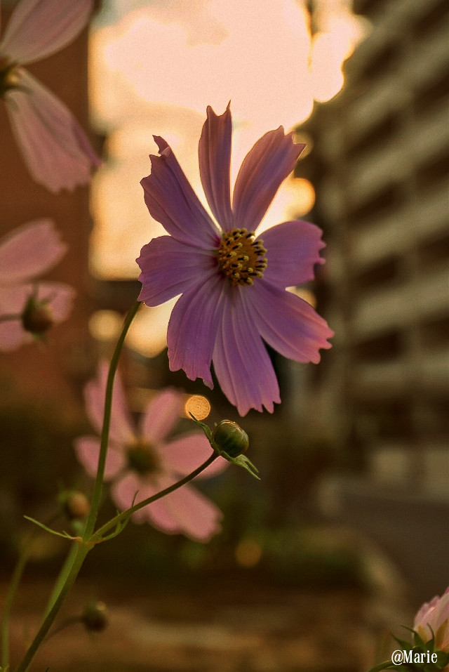 Cosmos on my way....  #warm  #photography #nature  #cosmos #autumn