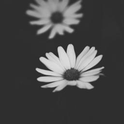 blackandwhite cute photography nature flower