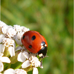 photography nature freetoedit hdr ladybugs