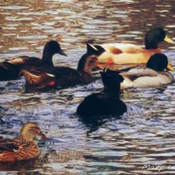 nature ducks water