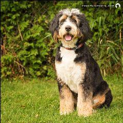 berndoodle dog