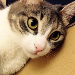 cat petsandanimals animal natural love