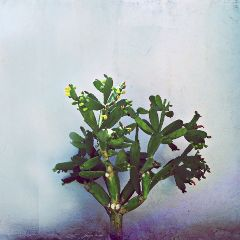cactus nopal cactusflower plants nature