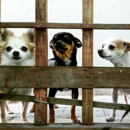 baby chihuahuas dogs photography love