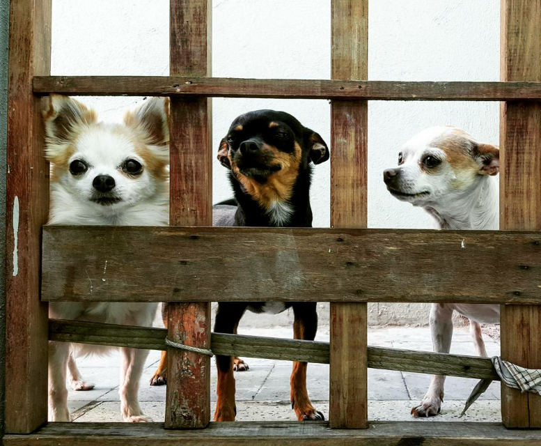 #baby #chihuahuas #dogs #photography #love