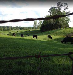 dailyinspiration serinity cows petsananimals greengrass