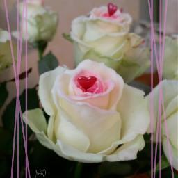 valentinsday love rose flower blossom