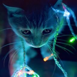 wppanimal freetoedit photography cat