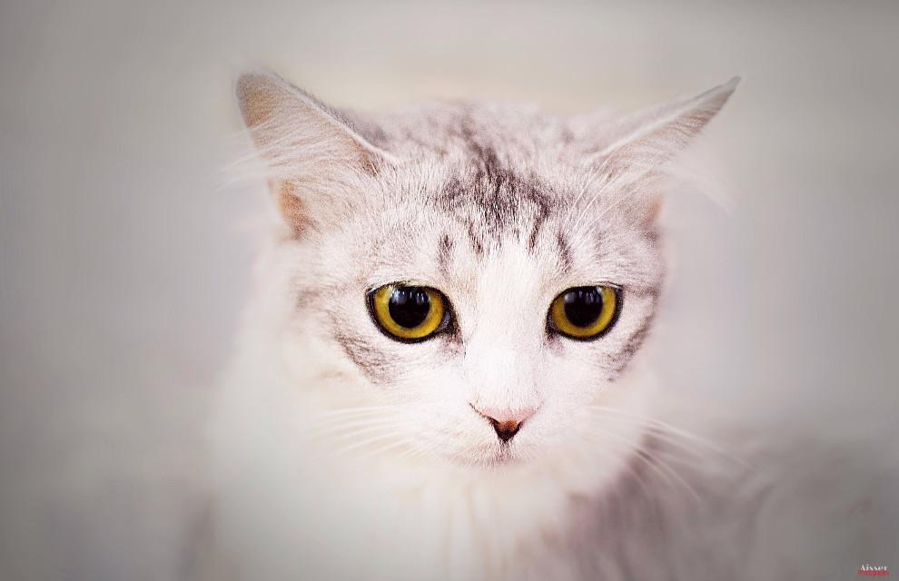 Photo by: @aisser90  Model: #cat Place: #home . Camera: nikon . .lighting: - fluorescent - . .lens: 85mm. F/1.8 G .Aperture: f/1.8 .shatter speed: 1/200 .ISO: 200 . .post editing: Photoshop + picsart . . Filter used: -high pass (Ps6) liner light -curves (Ps6) - dodge&burn (Ps6) only eye - selective color (Ps6) -black&white (Ps6) soft light -gradient map (Ps6) background -vibrance (Ps6) -Seafoam (picsart) . .for more info feel free to ask. . #omanpics #noor_omani95 #omani_tag #oman_picart1 #oman #oman_photo #photography #muscat #dubai #uae #sudia #bahrain #photo #portrait #kuwait #qatar  #cats #animals #عدستي #عدسة_نيكون #مسقط #عمان #تصوير #دبي #بورتريه #قطر #بحرين #سعودية #عمان_فوتو #دعم_عماني