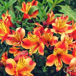 petaloso flowers redandgreen nature