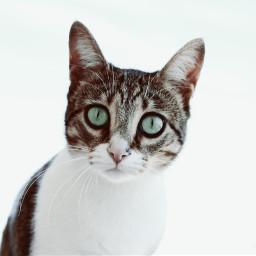 cat petsandanimals photography freetoedit