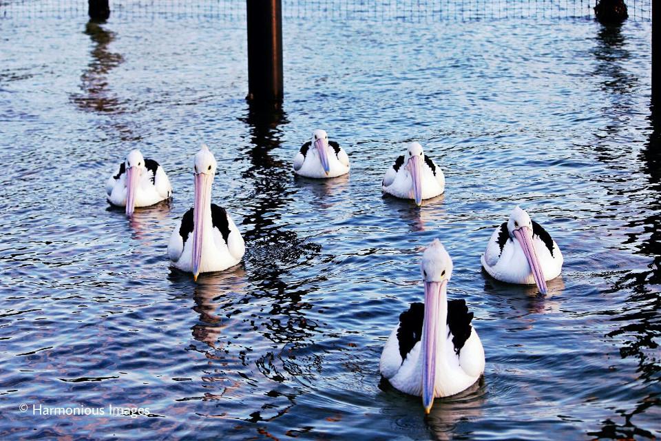 #six #pelican #wildlife #nature #sea
