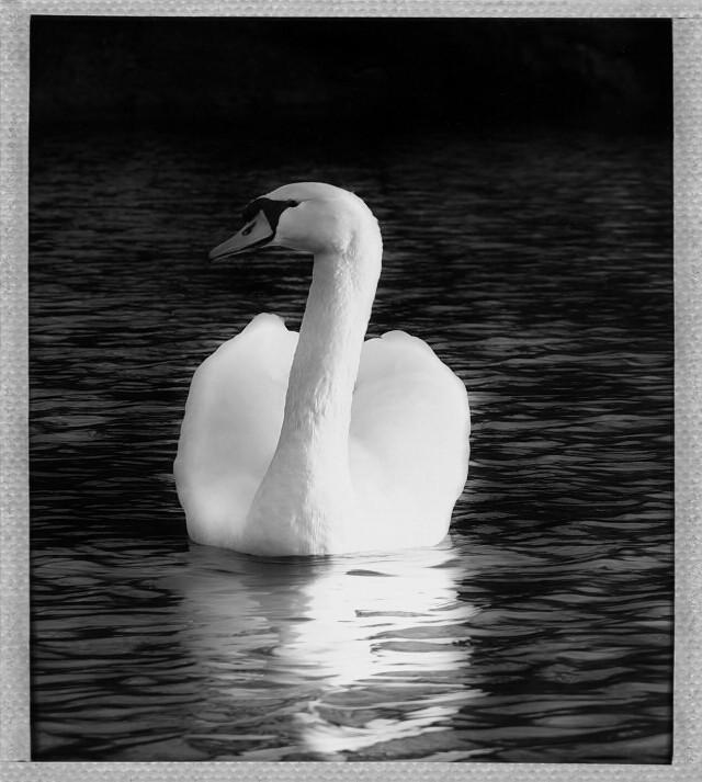 #photography #nature #blackandwhite #petsandanimals #swan