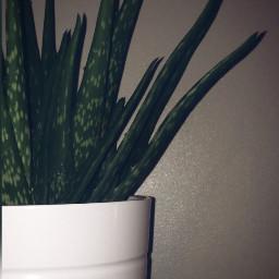 plant aloevera cleanse vera v freetoedit
