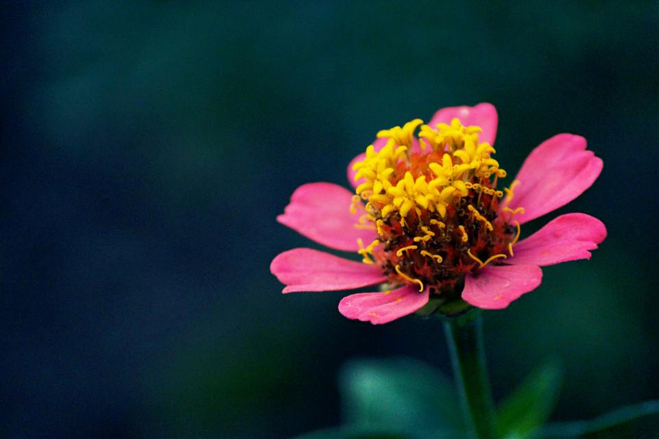 #flower #pink #nature #petals