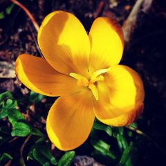 fresh crocus yellow spring flower