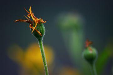 macro flower macro_photography macro_flower nature