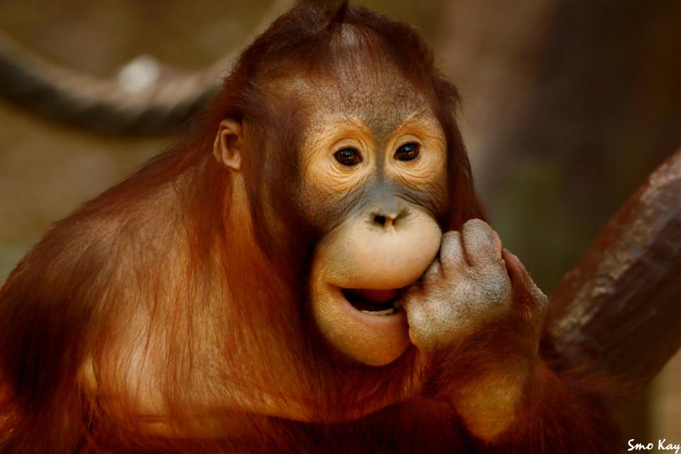 #orangutan #photography #nature #petsandanimals #animals #cute #zoo #brown #animal #wildlife