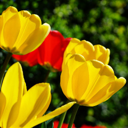 photography nature flower tulips