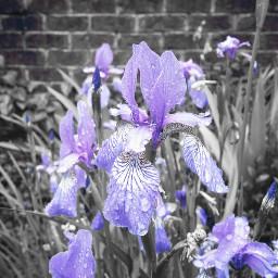 colorsplash purple flower raindrops