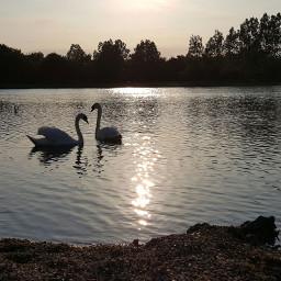 swanparadize stayforlife swanlake tranquillity