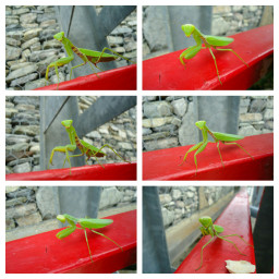 photography mantodea collage insect
